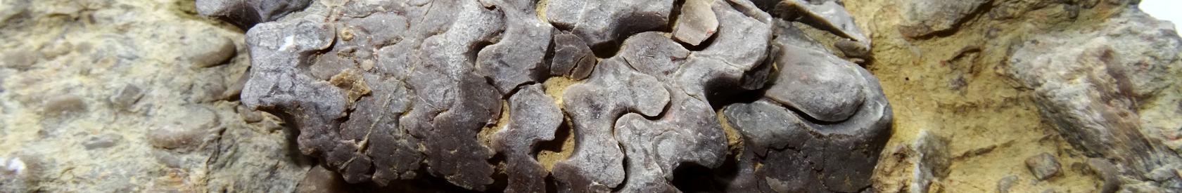 Fósiles destacados en los museos de la Comunidad Valenciana
