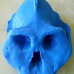Cráneo Paranthopus aethiopicus 3d